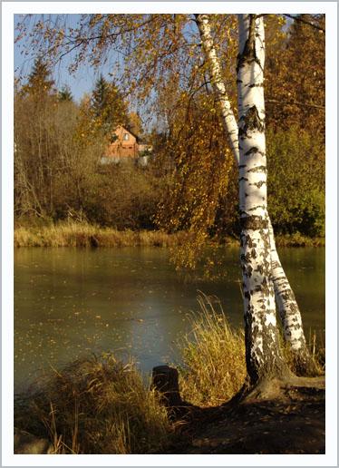 береза осень