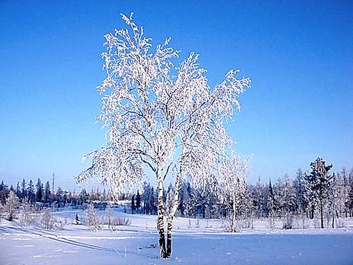 береза зима